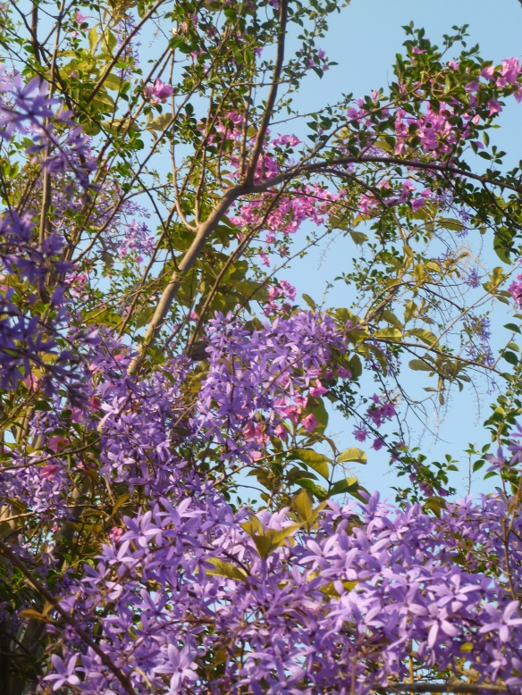Purple wisteria in my backyard